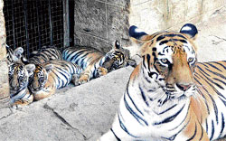 Manasa with her four cubs born two months ago. dh file photo