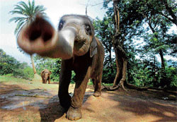 Jumbo pact: Four-year-old elephant Shivanan moves towards the camera at a state zoological park in Guwahati on Tuesday. AP