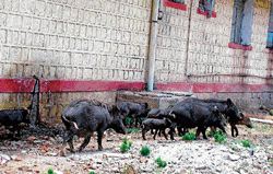 porcine fantasy: Pigs have their habitat for a long time in the compound of the Koppal District Hospital. DH Photo
