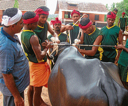 Youths engaged in tying the rope and getting ready for kambala. DH photos/Sukumar Muniyal