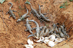 Baby crocodiles crawl out of the eggs on the shores of River Tunga at Kanagalakoppa in Shimoga. DH PHOTO