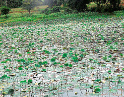 With showers being a regular feature these days, the lakes on the outskirts of the city make a pretty picture with water lillies and lotus flowers in full bloom. A perfect place to find tranquility and beauty, for the weekend. DH photo