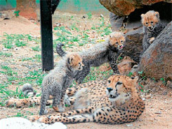 Proud Mama Brinda soaks up in the motherly bliss as her three cubs play around her at the Sri Chamarajendra Zoological Gardens on Wednesday, in Mysore. DH photo