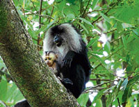Protected: The highly endangered lion-tailed macaque found in Sirsi-Honnavar region.  photo by santhosh k