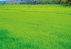 feast to the eyes Green paddy fields at Bittangala near Gonikoppa, Kodagu district. DH PHOTO