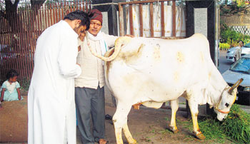 Laxmi, the cow, at a shelter in Hyderabad. JBS Umanadh