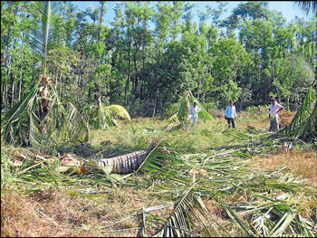 The coconut trees near the house of Jayamma destroyed by wild jumbos in Alur taluk. DH Photo