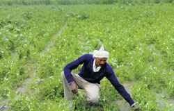 A farmer in his farm at Kheria Lodha village