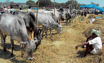 Not so fair: Due to lack of sheds farmers graze cattle under the blazing sun. DH Photos