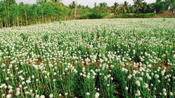Onion seeds grown in a field belonging to Gangadharappa of Reddidyavarahalli in Gauribidanur taluk. dh photo
