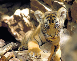 One of the cubs of Tigress Sundari plays at Ranthambore National Park in Jaipur on Friday.
