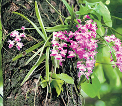 An orchid in all its glory at Kaiga. (Photo by the author)
