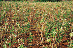 Sunflower, tur crops wither as rains fail
