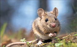Super-hero mice to sniff out explosives