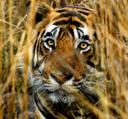 Seven more tiger reserves to come up in India