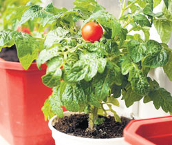 Growing vegetables at home is a healthier option than buying them.(Photo by the author