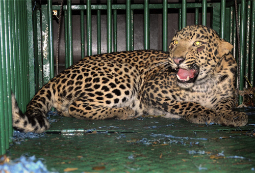 Woman killed in suspected leopard attack