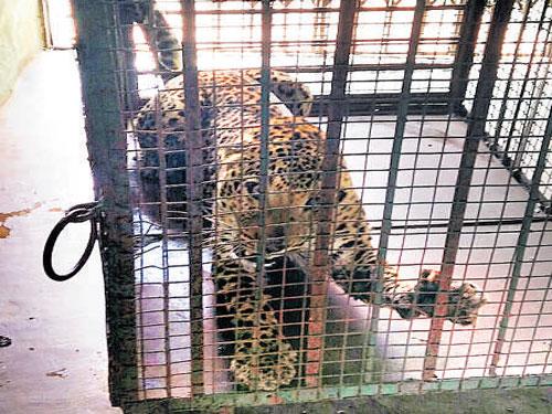 Captured leopard escapes from enclosure in Bengaluru