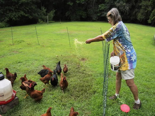 US college offering crash course in raising chickens