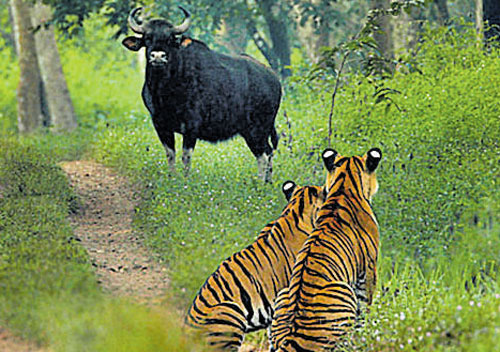 Bhadra tiger project gets pat from Centre | Deccan Herald