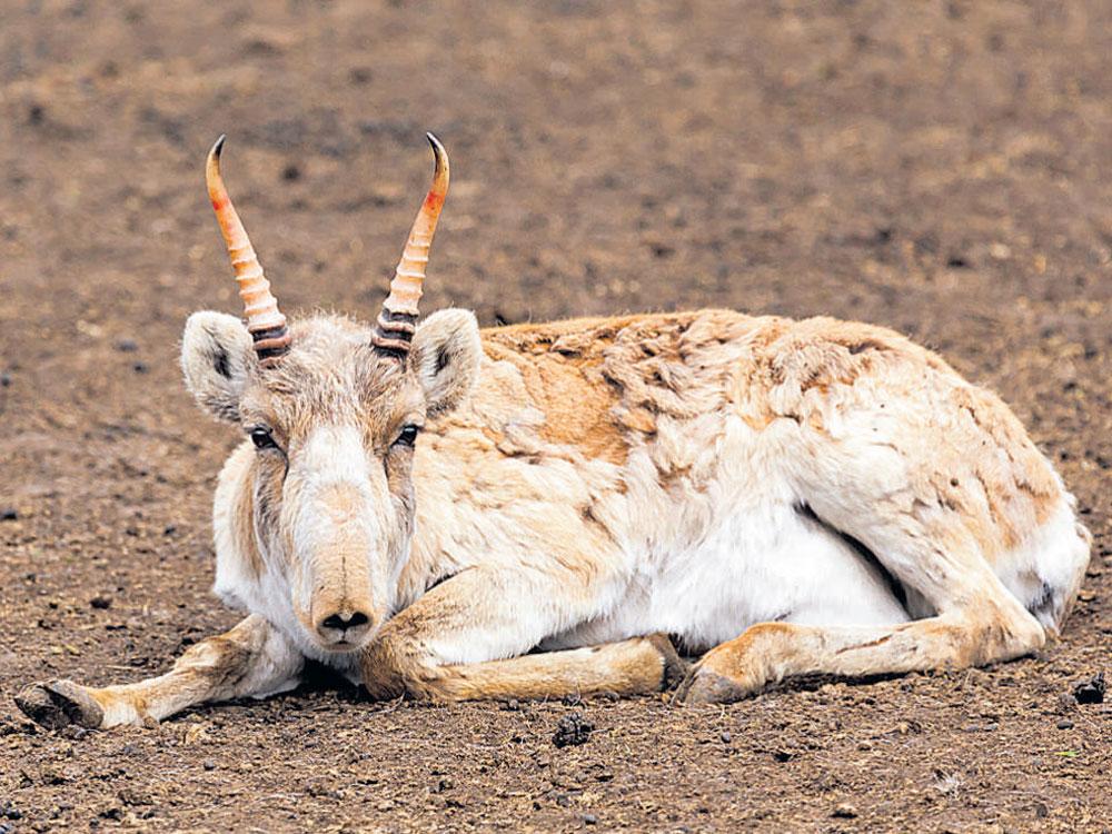 Saiga antelopes are struck again by a plague