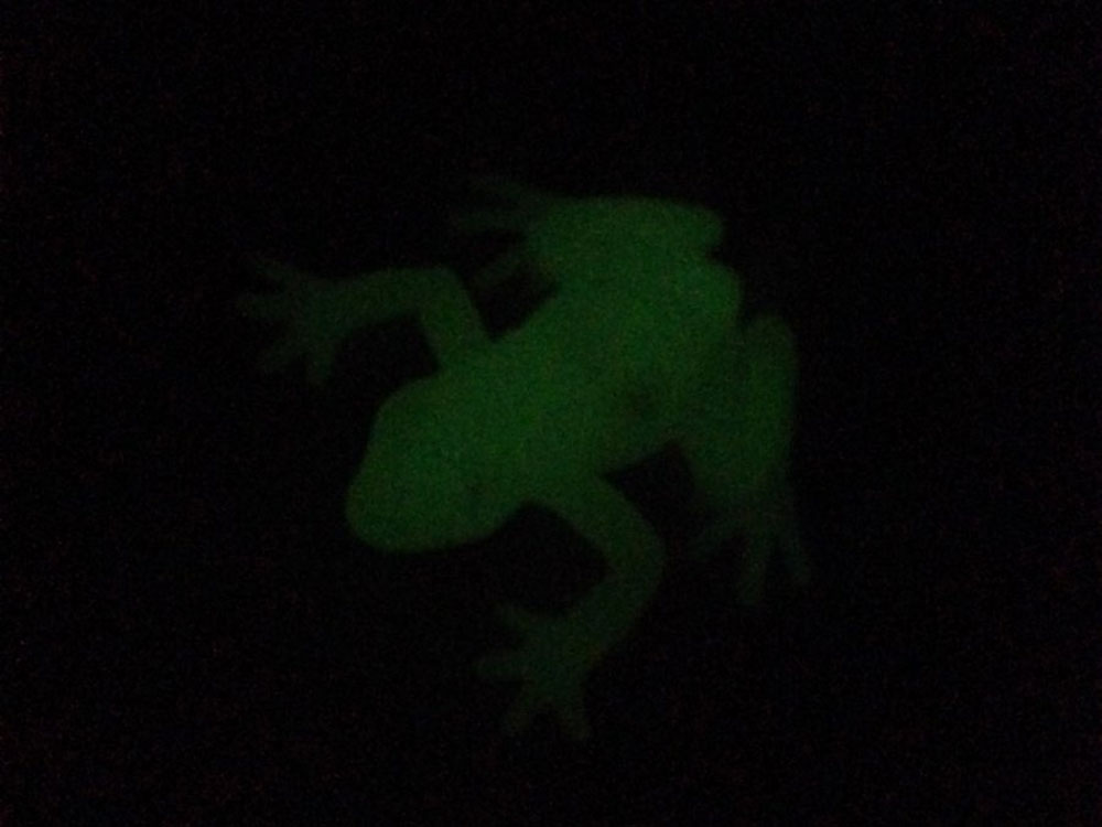 World's first glow-in-the-dark frog discovered in Argentina