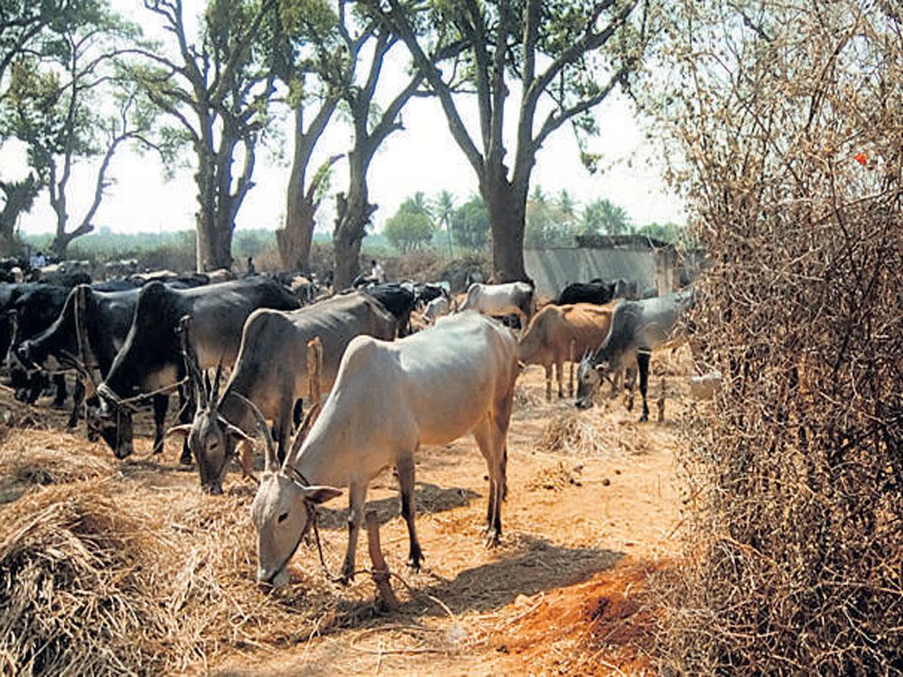 Will break limbs of those who kill cows, says Muzaffarnagar BJP MLA