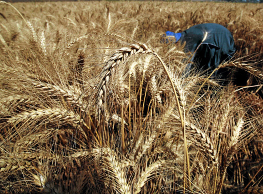 Govt imposes 10% import duty on wheat, pulses