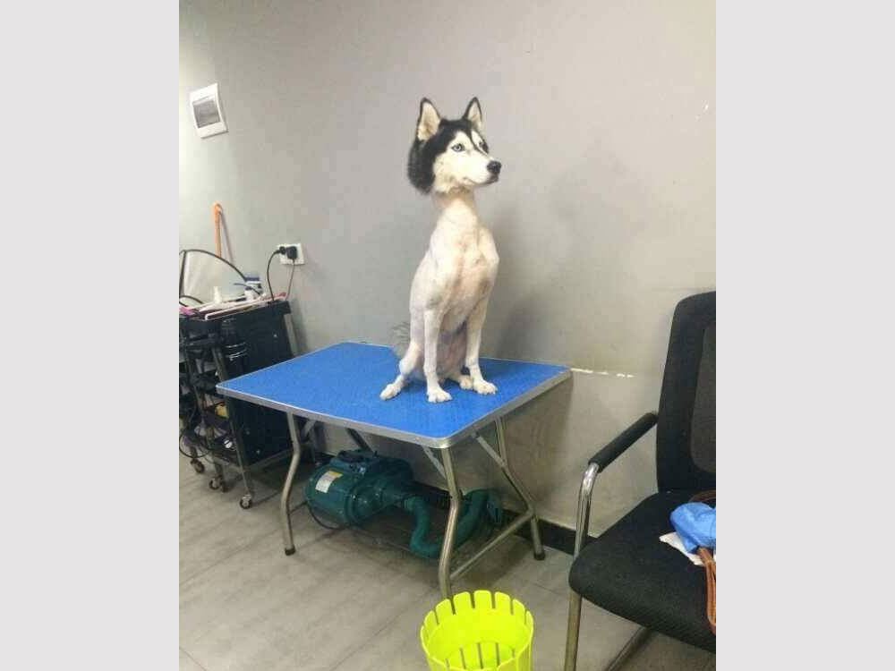 Photo of shaved Husky goes viral on social media