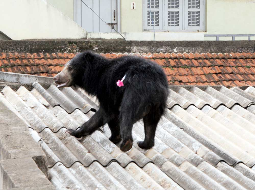 Forest dept rescue 2nd sloth bear in two days