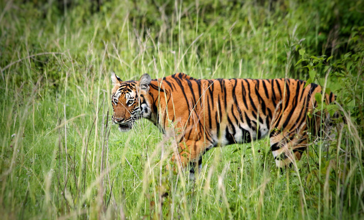 Tigers in south to survive longer than those in other parts of the country