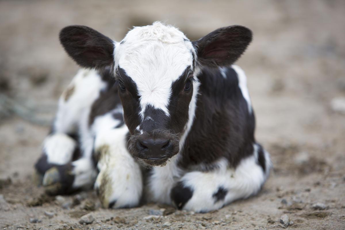 8 held for bovine smuggling in J&K