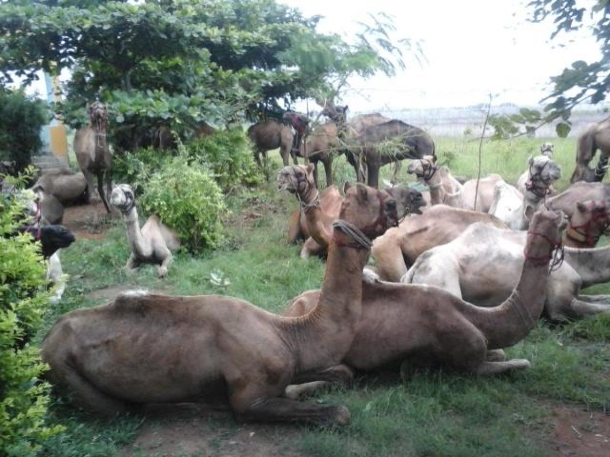 Camels rescued from slaughter perish in custody