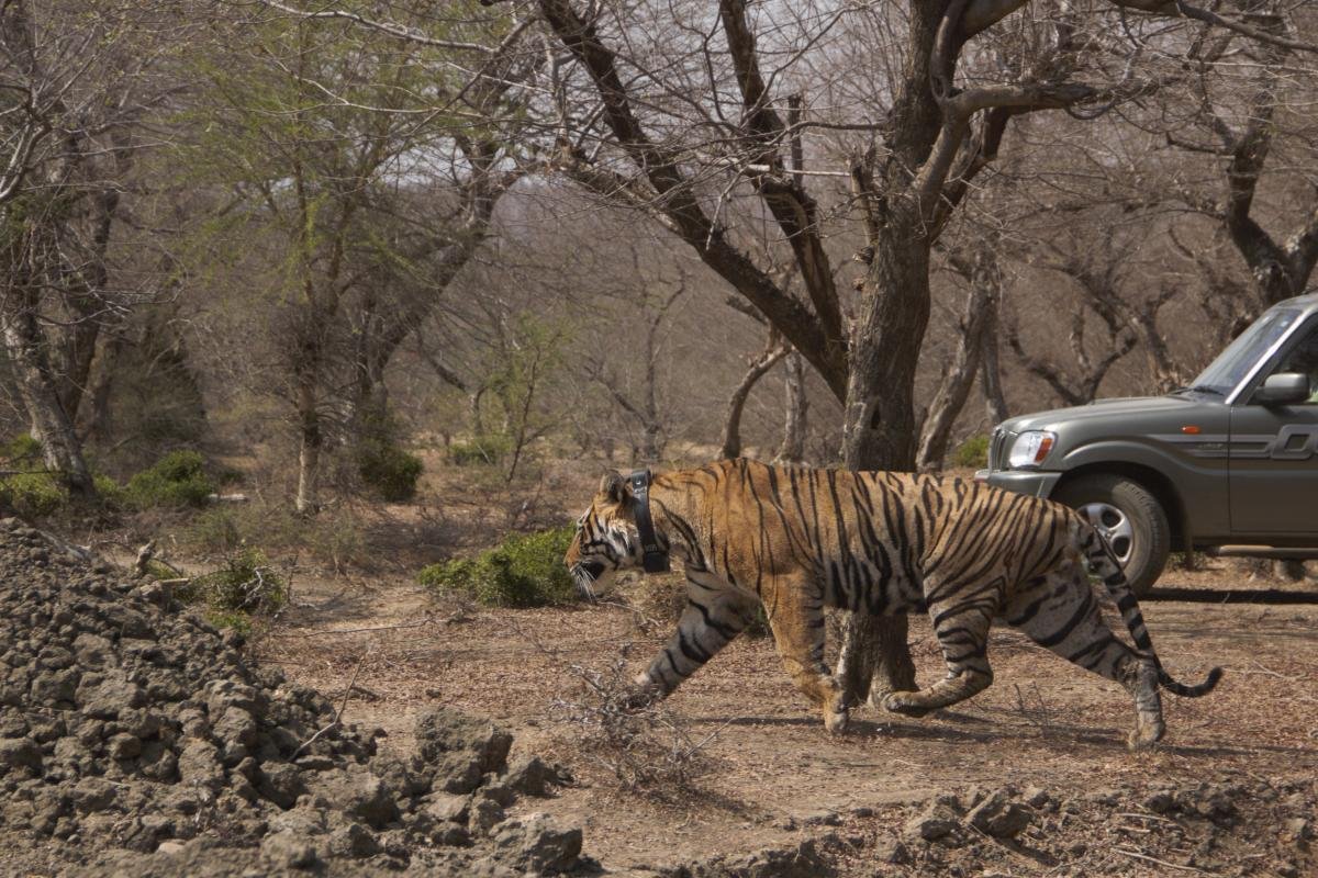 Rajasthan's Mukundra reserve gets first tiger from Ranthambore