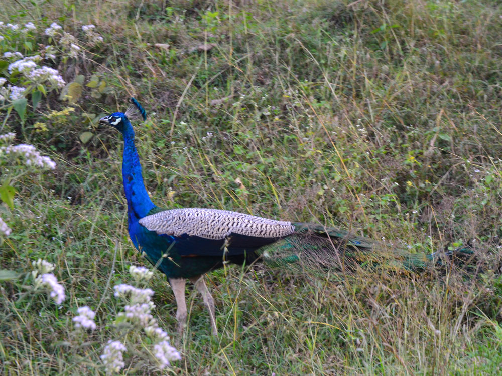 Man reports peacock killing, goes missing