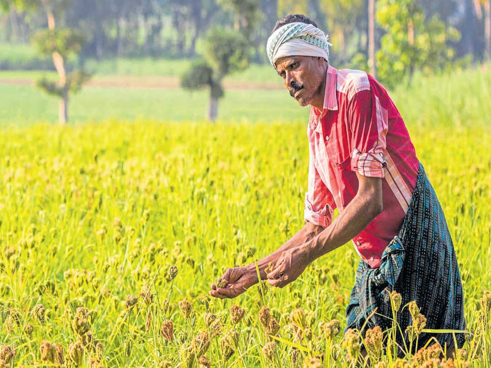 """The Centre has declared millets, a popular food in many parts of Karnataka, as """"Nutri-Cereals"""", hoping that the classification would pave the way for a rise in the production, consumption and trade of several varieties of the nutritionally rich cereals. DH File photo"""