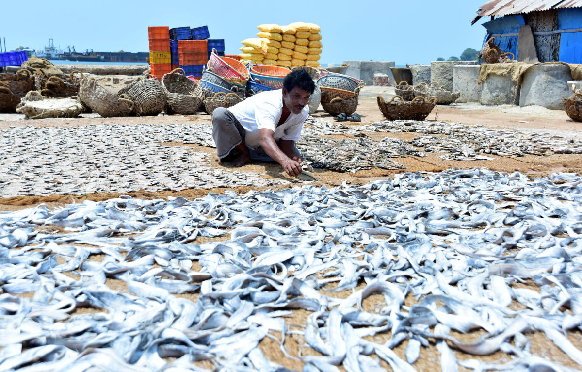 A Fisherman drying different varieties of fish. DH File photo