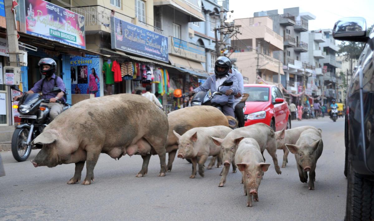 Pigs freely walk on the busy Bellandur Main Road. DH FILE PHOTO/Srikanta Sharma R