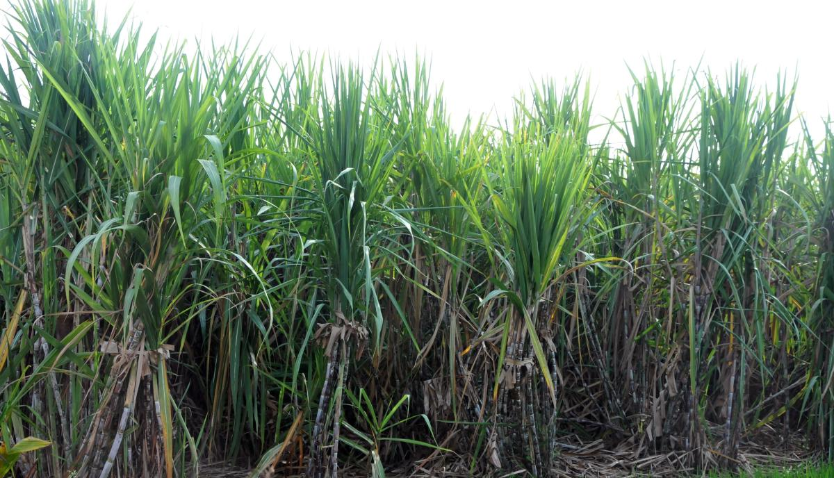 The sugar industry in Uttar Pradesh is facing problems due to record production of sugarcane that has led to a massive dip in the price of the sweetener. (pic for representation only)