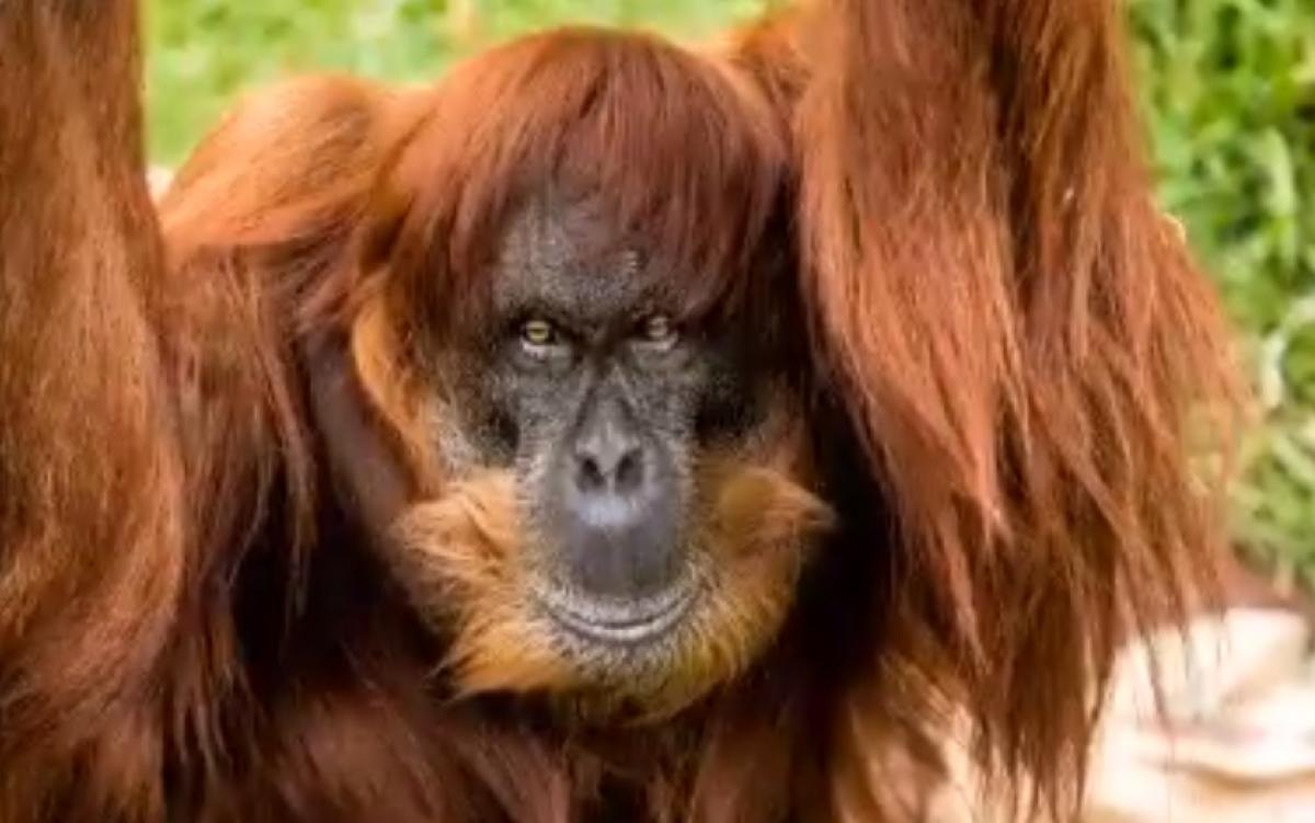 The world's oldest Sumatran orangutan. Screen grab