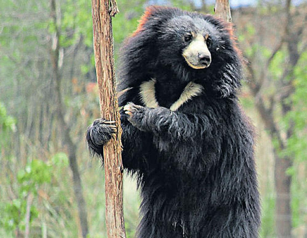 Sloth bear kills an army personnel in Kota | Deccan Herald