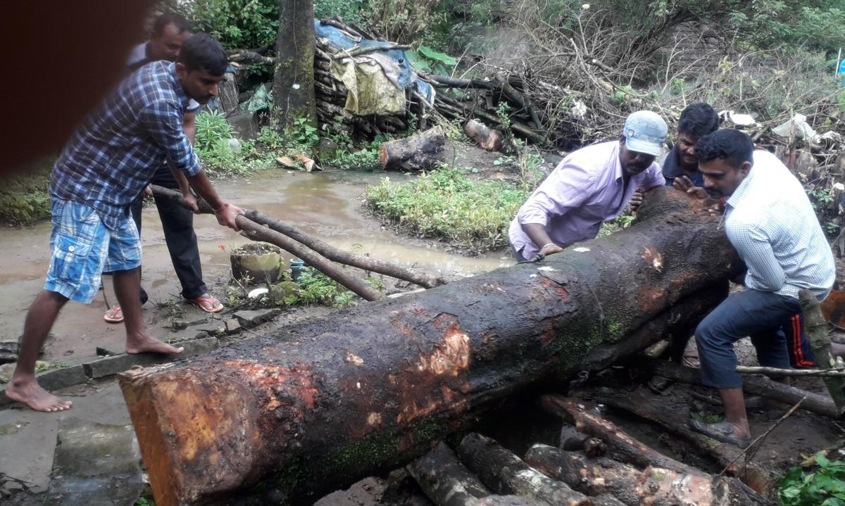 Teacher Omkarappa shifts the felled tree with the help of workers. The jackfruit tree close to the government quarters at Kuduregundi in Koppa taluk is said to have been cut by the teacher without permission.