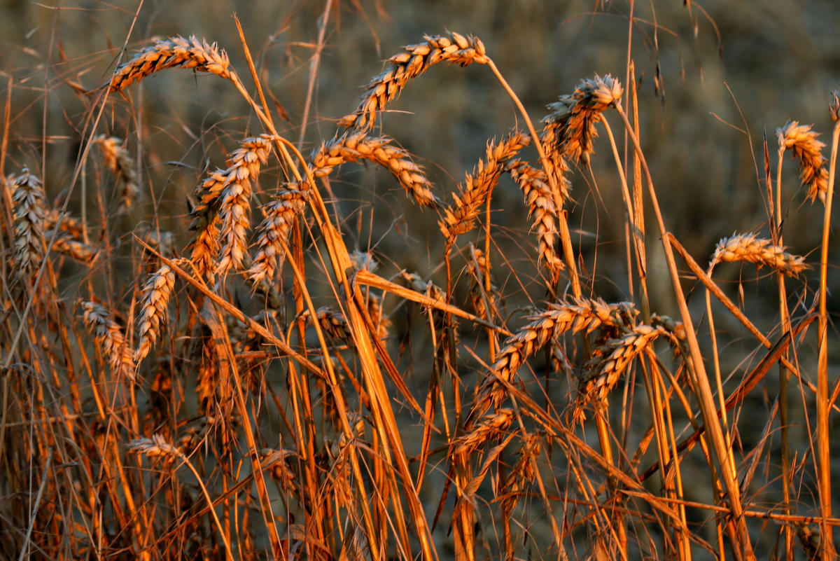 The genetic information, scientists say, would help Indian plant breeders create better wheat varieties capable of tolerating heat and drought without compromising the yield. Reuters file photo