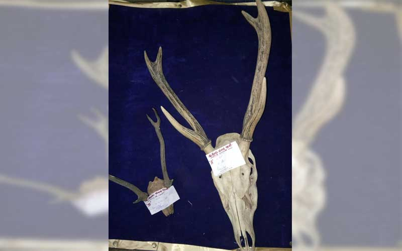 Police seized two sets of deer antlers that were being smuggled. (DH photo)
