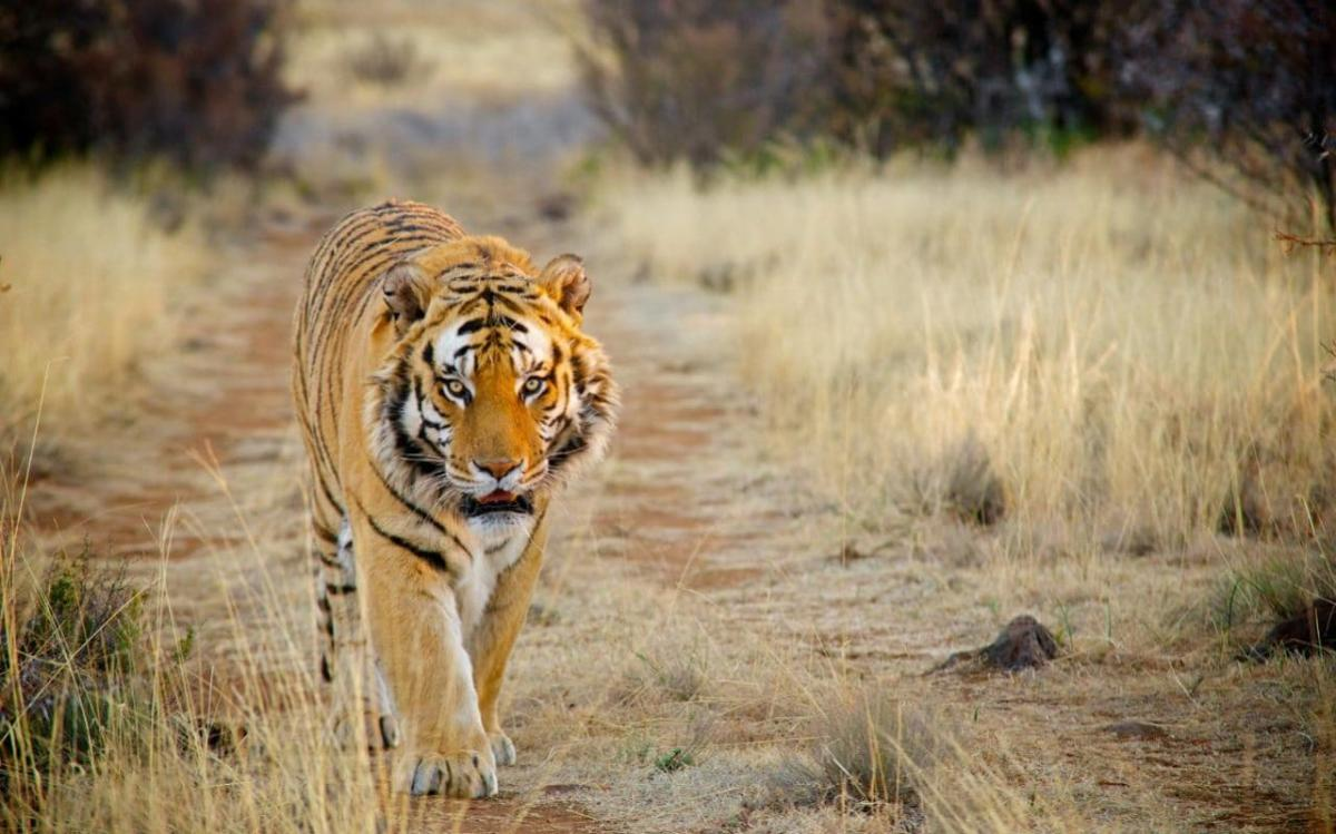 The lone tiger, first sighted in BNP in 2015, has not left the 104.25 sq km forest patch since. Representational photo