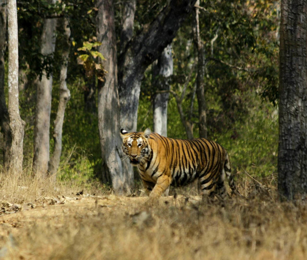 The court also asked the CBI to find out the involvement of forest officers in the poaching of tigers. The matter shall be inquired into and investigated by the CBI and the preliminary report shall be submitted to this court, in sealed cover, within three