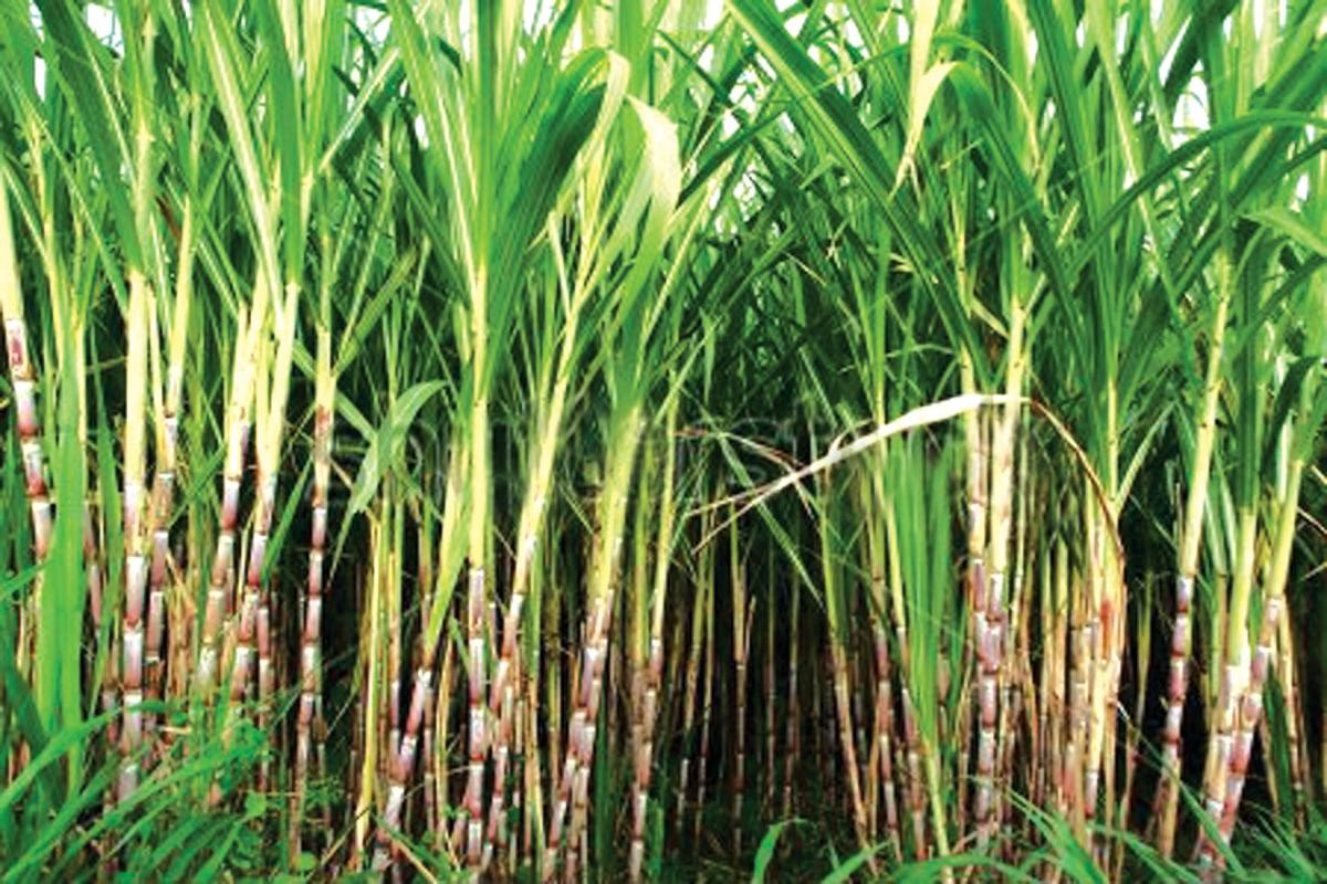 The decision of the Cabinet Committee of Economic Affairs is expected to help sugar mills saddled with surplus stock of the sweetener to divert the cane juice for ethanol production. Representative image.
