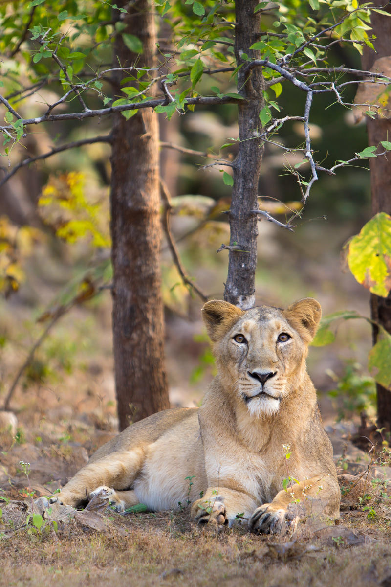 The forest officials have also shifted five mature lions from the Dalkhania and Jashadhar ranges to other parts of the National Park to avoid any more deaths in the region.