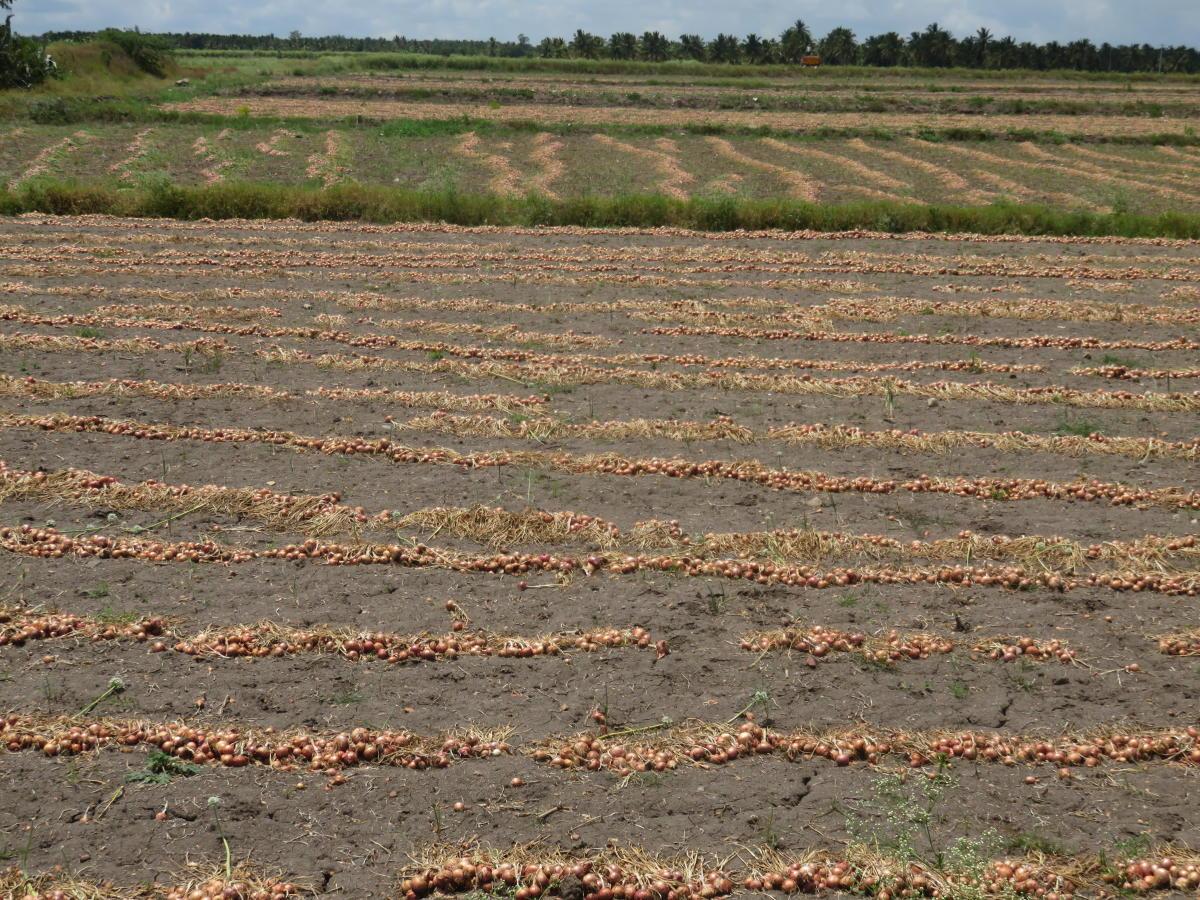 Onion cultivated on Basooru Kaval land.