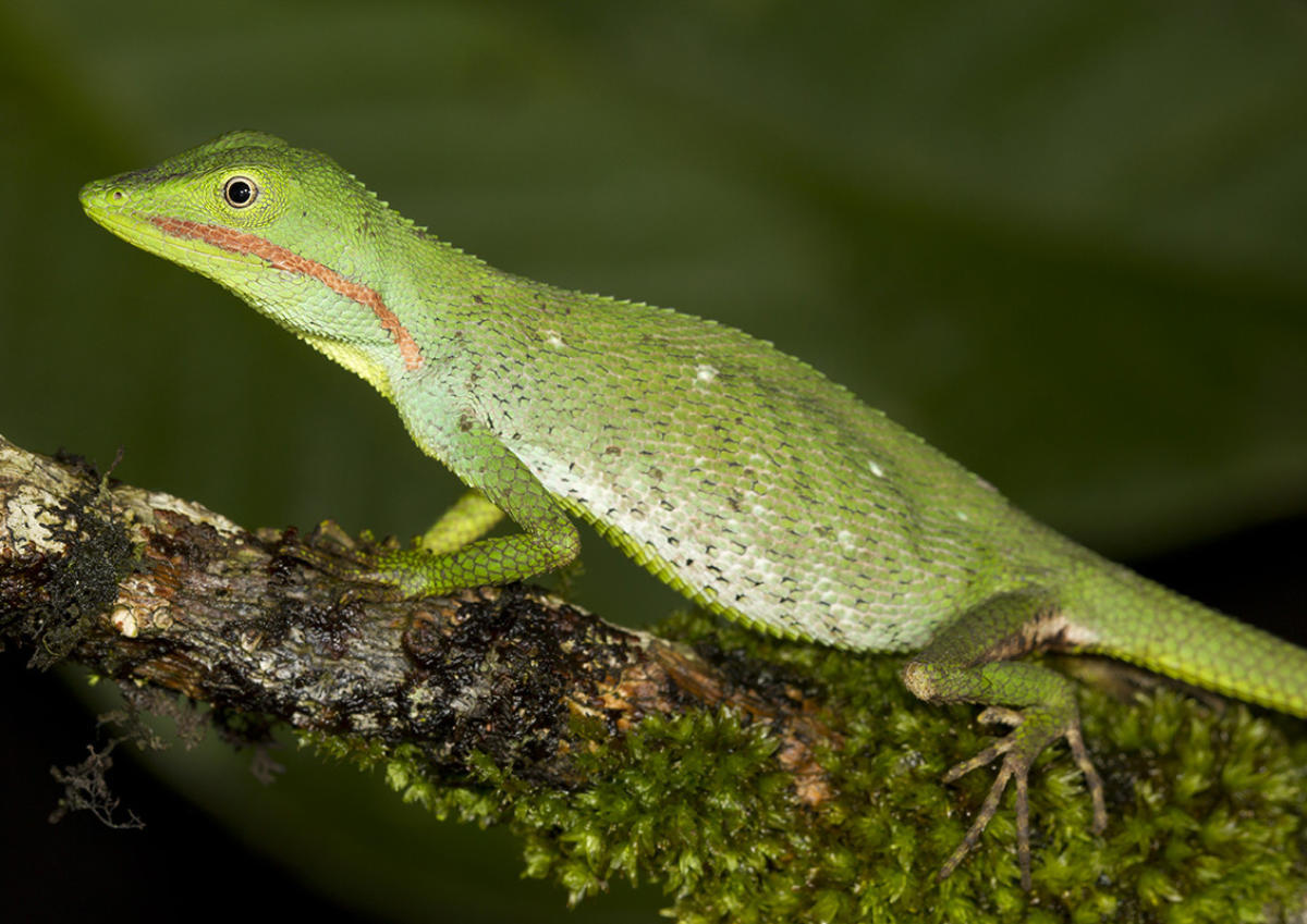 Microauris aurantolabium, one of the new species of lizard found at Western Ghats.